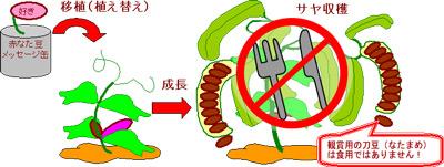 缶入りメッセージ豆(なたまめ)は食用ではありません